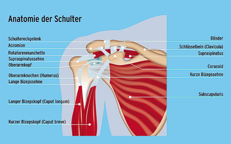 Fein Schultermuskel Anatomie Diagramm Ideen - Anatomie Von ...